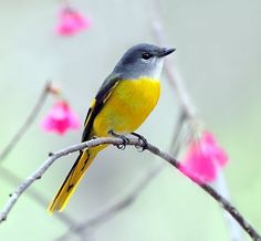 Yellow-throated Minivet