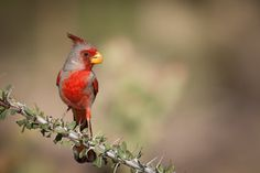 Pyrrhuloxia by Dan Fleming on 500px