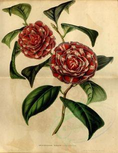 flowers-10683 - camellia japonica archiduchesse augusta [3539x4591]