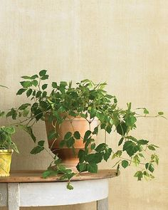Grape Ivy (Cissus 'Ellen Danica')  Best grown as a hanging plant or in a tall pot to show off its romantically cascading stems, this fuzzy-leaved tropical prefers cool conditions, good air circulation, and ample water.