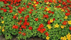 Jak správně pěstovat lichořeřišnici větší (Trapeoleum majus). Recepty, jak využít jedlé květy lichořeřišnice. Odrůdy lichořeřišnice. Jak a proč léčí Home And Garden, Herbs, Plants, Gardening, Lawn And Garden, Herb, Flora, Plant, Spice