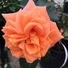 Flora Danica, ros