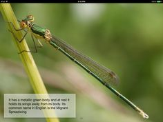 Southern Emerald Damselfly - Dragonfly for Kids