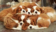The traits we love about the Fun Cavalier King Charles Spaniel Puppies King Charles Puppy, Cavalier King Charles Dog, Cute Puppies, Cute Dogs, Corgi Puppies, Cavalier King Spaniel, Puppy Mix, Spaniel Puppies, Doge