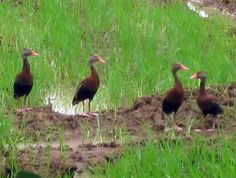 Costa Rica's Black Bellied Whistling Ducks all in a row.