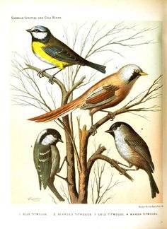 Antique Original Colour Chromolithograph 1880 from Cassell's Canaries and Caged Birds Bearded Titmouse Blue Cole Titmouse Marsh Titmouse Tit Vintage Birds, Vintage Prints, Vintage Images, Decoupage Printables, Free Printables, Printable Animals, Bird Illustration, Illustrations, Bird Pictures