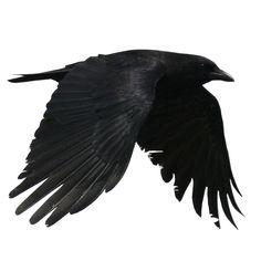 The Crow Crow