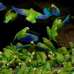 Cobalt-winged parakeet (Brotogeris cyanoptera)
