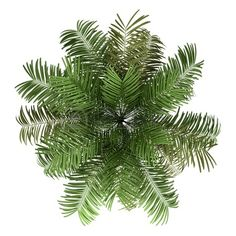 Tree Plan View Png Palm Tree Top View Png Palm