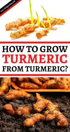 HOW TO GROW TURMERIC FROM TURMERIC? The botanical name of turmeric is Curcuma Longa. This is a Herbaceous perennial plant that belongs to the Zingiberaceae family. It is closely related to ginger. Turmeric is a pungent spice that has a bright yellow color. Grow Turmeric, Turmeric Plant, Fresh Turmeric, Perennial Plant, Herbaceous Perennials, Raised Bed, Raised Garden Beds, Garden Soil, Gardening