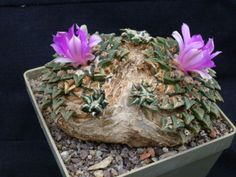 Ariocarpus-kotschoubeyanus-grafted