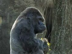 Published on Aug 2012 The Zoo Atlanta family is saddened by the passing of Ivan the western lowland gorilla, 50 years old and a cherished member of our collection since Ivan The Gorilla, Book Club Books, Book Clubs, Book 1, School Library Lessons, Western Lowland Gorilla, One And Only Ivan, Atlanta Zoo, For Elise