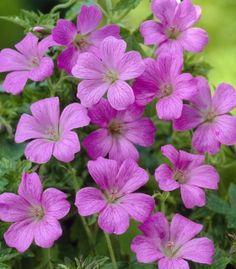 Geranium oxonianum 'Rose Clair'