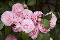 Pearl Maxwell Camellia - Monrovia -  PIKE Will grow in full shade.