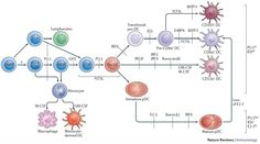 The developmental pathways from myeloid and lymphoid progenitors to precursor dendritic cells (pre-DCs) in the bone marrow and the peripheral diversification of DC subsets are shown