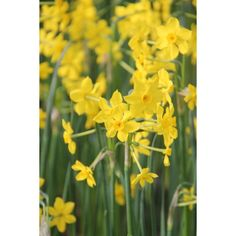 I have just purchased Narcissus 'Baby Boomer' from Sarah Raven - https://www.sarahraven.com/flowers/bulbs/narcissi/narcissus_baby_boomer.htm