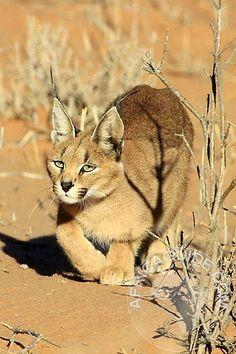 Caracal stalking in Kgalagadi (Kalahari) trans frontier park, Borswana, by Robert Shepardson