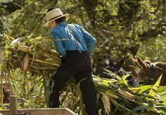 An Amish boy picks up stalks of harvested corn