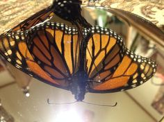 """""""Monarch Butterfly on Sunspot""""photo by Allison Britten"""