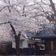 Sakura (Cherry blossom) at Asakusa, Tokyo. 2012/abril by Maria  Alice