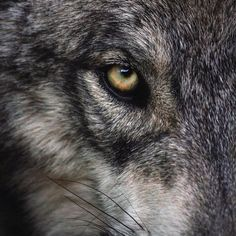 """worldofwolvesofficial: """"By @ivar_the_real_wolfdog #shoutout #photography """""""