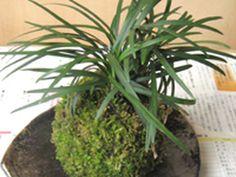 Kokedama plantas sin maceta. Tutorial - Taringa! #Kokedamascolgantes