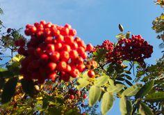 Pihlajanmarjat. Fruit