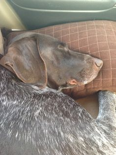 Dogs that love their pillow