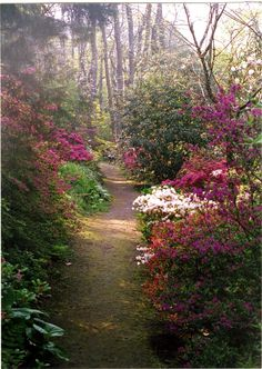 Rhododendron walk... http://www.gardensillustrated.com/sites/default/files/Greencombe01003.jpg