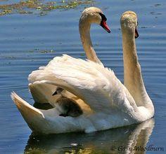 birds of a feather Beautiful Swan, Beautiful Birds, Swans, Eagles, Cygnus Olor, Mute Swan, Swan Song, Swan Lake, Mothers Love