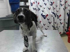 8/31*This DOG - ID#A466920 - URGENT - Harris County Animal Shelter in…