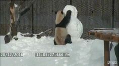 Cute panda in snow! Funny Animal Videos, Cute Funny Animals, Funny Cute, Hilarious, Humor Animal, Animal Memes, Cute Creatures, Beautiful Creatures, Cute Animal Pictures