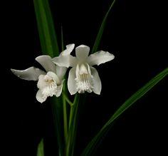 Bletilla striata alba orchid
