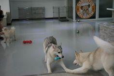 Siberian husky 'ripi & nana'