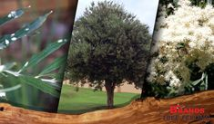 The Buddleja Saligna (False olive) tree, is commonly planted by small garden owners and one of the most popular indigenous trees in the Gauteng region.