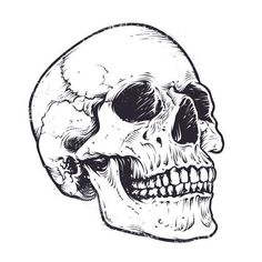 Find Anatomic Skull Vector Art Detailed Handdrawn stock images in HD and millions of other royalty-free stock photos, illustrations and vectors in the Shutterstock collection. Tattoo Drawings, Art Drawings, Drawings Of Skulls, Drawing Drawing, Drawing Ideas, Skull Reference, Skull Stencil, Skull Illustration, Skeleton Art