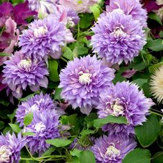 Diamontina Clematis Regal Collection - Flower Plants A to O - Flower Plants - Flowers - Garden - Dobies of Devon -
