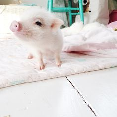 Pearl the pig » Live Sweet Photography, Portrait Photographer with her Suzette Coverlet!