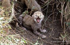 Cheetah baby | Christine et MichelDenis Huotphotographes animaliers - - Guépard bébés - 13440
