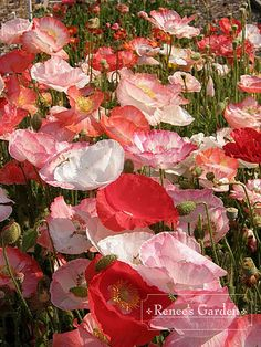 Shirley Poppies - In the fall, after clearing beds of fallen leaves,sow these extravagantly (maybe add in a little larkspur) These seeds germinate in late winter, grow rapidly in the warmth of spring and produce unexpectedly showy flowers in May and June.