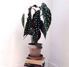 Begonia maculata plant