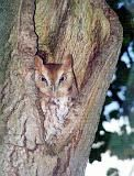 Red Phase of Eastern Screech-Owl