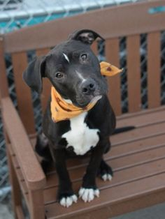 Brooklyn Center LEENA – A1064291 FEMALE, BLACK, PIT BULL MIX, 7 mos STRAY – EVALUATE, HOLD FOR ARRESTED Reason OWN ARREST Intake condition EXAM REQ Intake Date 02/03/2016, From NY 11434, DueOut Date 02/10/2016, I came in with Group/Litter #K16-046772.