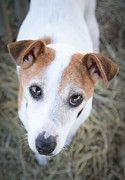 Buy Foster's photo and help support Jack Russell Rescue!