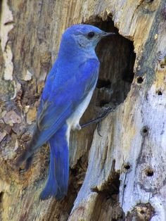Bird of the Month: Mountain Bluebird, Sialia curruciodes: W-USA/ Can