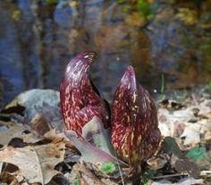 Skunk Cabbage Plants