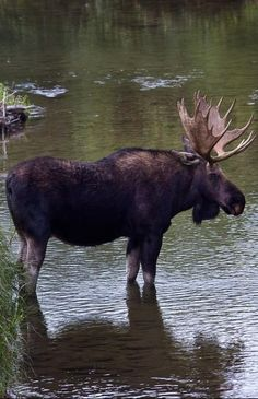 Moose Deer, Moose Hunting, Bull Moose, Moose Art, Majestic Animals, Animals Beautiful, Large Animals, Animals And Pets, Nature Animals