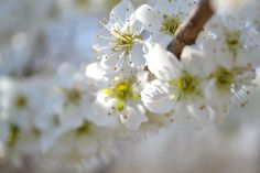 Yay! Our plum trees are blooming! We are up in the northeast Zone 7a