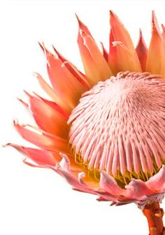 Garden Flowers - Annuals Or Perennials Protea-Strength, Courage, Change