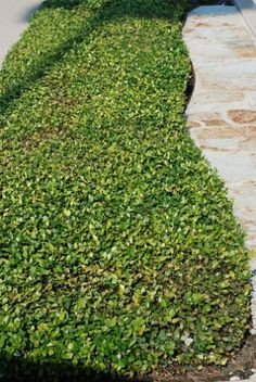 Asian Jasmine ground cover for shade - Garden Design Ideas 2019 Outdoor Landscaping, Front Yard Landscaping, Outdoor Gardens, Landscaping Ideas, Ground Cover Plants Shade, Shade Plants, Easy Garden, Lawn And Garden, Garden Ideas